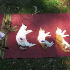 Spayed Cat Line-up