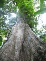 Kratengjeng Waterfall Tree_2