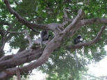Dusky Leaf Monkeys_2