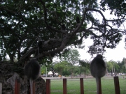 Dusky Leaf Monkeys_4