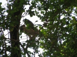 Baby Leaf Monkey