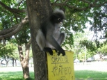 Dusky Leaf Monkeys_6