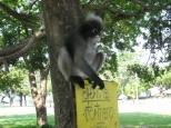 Dusky Leaf Monkeys_6