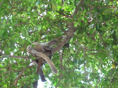 Baby Leaf Monkey_2