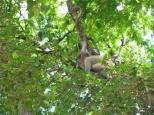 Baby Leaf Monkey_3