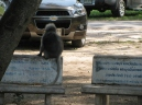 Dusky Leaf Monkeys_9