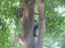 Dusky Leaf Monkeys_11