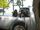 Dusky Leaf Monkeys_12