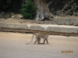 Macaque Crossing Road