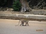Macaque Crossing Road