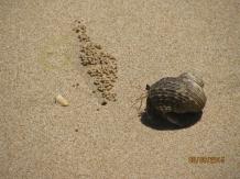 Charlie's Beach Hermit Crab