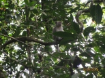 Macaque Monkey_2