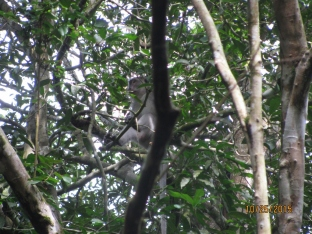 Macaque Monkey_3