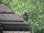 Dusky Leaf Monkeys_3