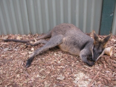 Wallaby Chilling