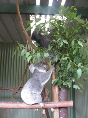 Koalas Climbing