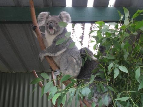 Koalas Climbing_2