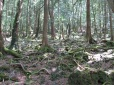Aokigahara Lava Forest_3